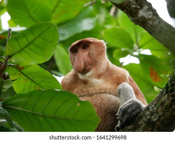 Proboscis Monkey sitting in a tree between leaves in Baku national park in Malaysia