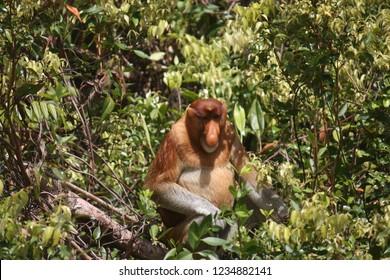 Proboscis monkey at Tanjung Puting national park, Borneo, Indonesia