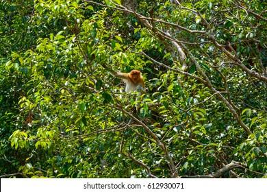 Proboscis Monkey in Tanjung Puting National Park