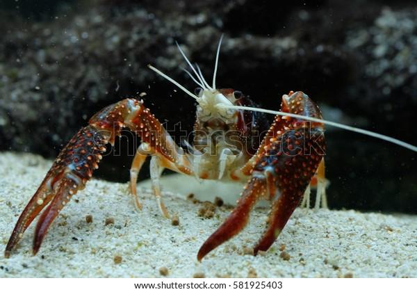 Procambarus ghost
