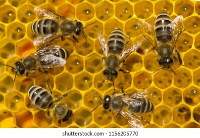 Process of converting nectar into honey is being carried out. Honey bees are covered in honeycombs.