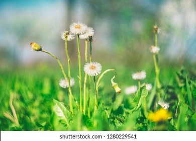 The process of ending the flowering of the coltsfoot plant in sunny spring day. Concept of the awakening of nature and the beginning of a new life.
