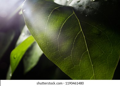 the process of photosynthesis in macro photos of the green leaf of the plant, a close-up view where all the veins and small details and elements of leaves are visible, flora and botany study of plants