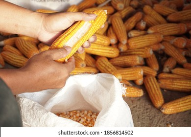 the process of shelling corn manually by hand
