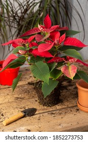 Process of transplanting a houseplant Poinsettia into a clay pot, Christmas flower on a wooden table