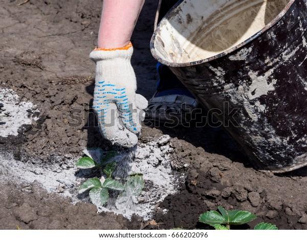Proceso de tratamiento de brotes de plantas con cenizas de madera para protegerlas contra plagas