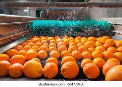 Das Waschen und Reinigen von Zitrusfrüchten in einer modernen Produktionslinie