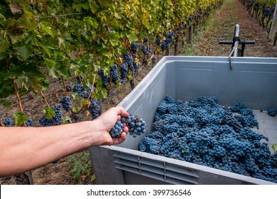 Processing and care of the vineyards in Tuscany of red and white wine