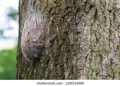 Procession caterpillar nest on the treen trunk of an oak tree