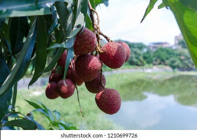 Produced in Maoming, Guangdong, Lingnan Jiaguo, black leaf litchi