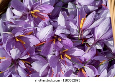 Producer of saffron in France