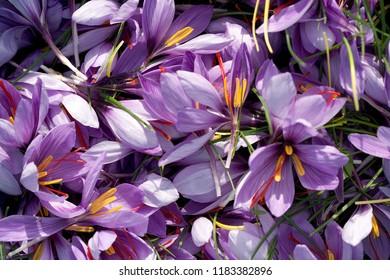 Producer of saffron in France
