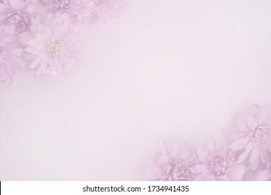 Product background Fresh flowers Pink chrysanthemum