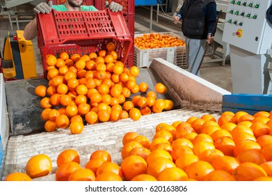 The production line of citrus fruits: a worker unloading boxes full of tarocco oranges in a roll conveyor belt
