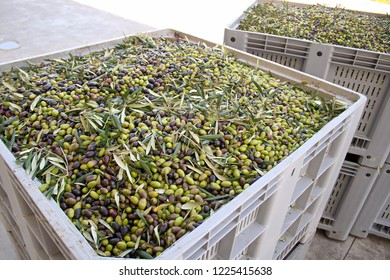 Production of olive oil. Box of green and black olives ready to be processed at the mill to get the olive oil