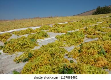 Production of Raisins