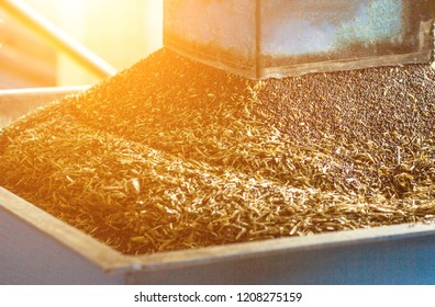 Production of rapeseed oil, processing of oilseed rapeseed, supply of rapeseed oil seeds to the cold pressing press, close-up, industry, sun, biodiesel production