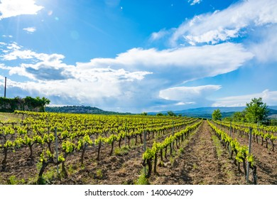 Production of rose, red and white wine near small town Lacoste in Luberon, Provence, South of France, vineyard in early summer