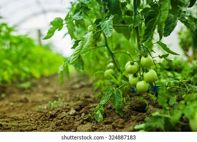 Tomato Field Images, Stock Photos & Vectors | Shutterstock