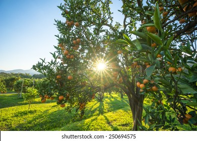 Productivity in  orange orchards in northern Thailand