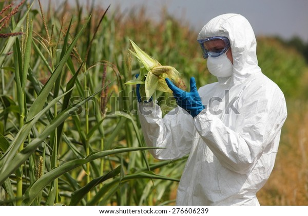 profesional in uniform goggles,mask and gloves examining corn cob on field