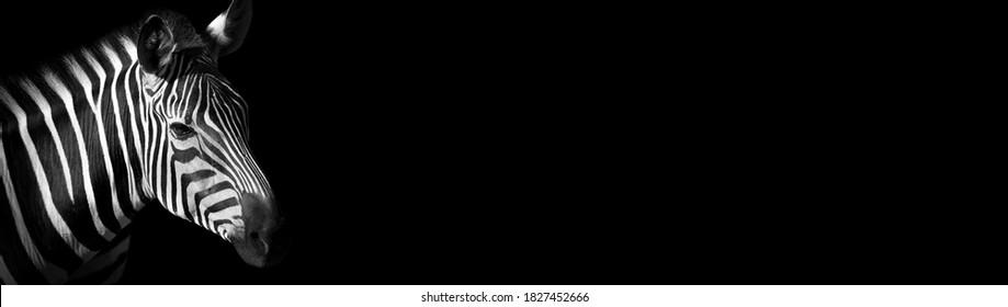 Professional animal zebra design for website. Black and white zebra on black background. Popular animal.