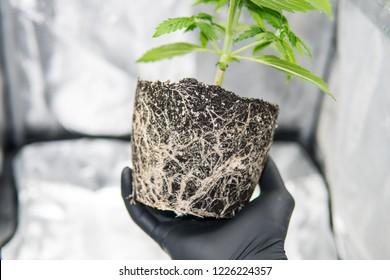 Professional cannabis cultivation grow the beautiful roots of the marijuana plant. Macro healthy cannabis roots. Roots In the hands of the grower. CBD in roots Marijuana.