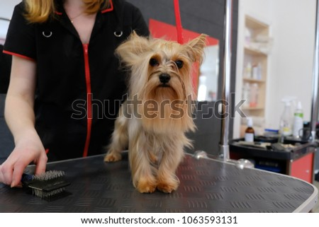 Professional Care Yorkshire Terrier Grooming Salon Stock Photo Edit