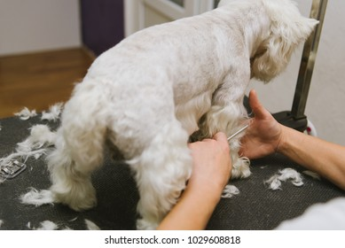 professional combing dog West Highland White Terrier in the grooming salon.