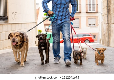 Professional dog walker or pet sitter walking a pack of cute different breed and rescue dogs on leash at city street.