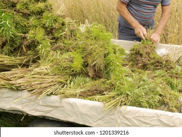 Professional farmer tying bundles of freshly harvested hemp stalks: industrial hemp cultivation