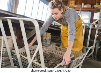 a professional female oyster farmer after oyster collection