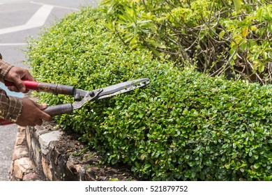Professional gardener pruning an hedge, man trimming tree outdoors