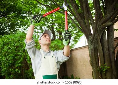Professional gardener pruning a tree