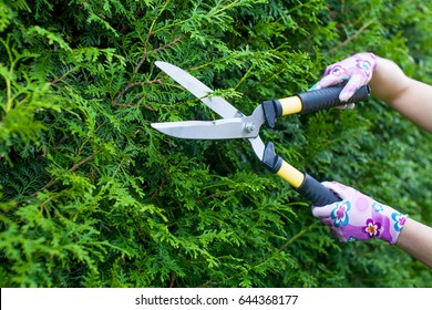 professional gardener at work. close up of woman hands working with hedge shear in the yard. garden worker trimming plants. topiary art. gardening service and business concept