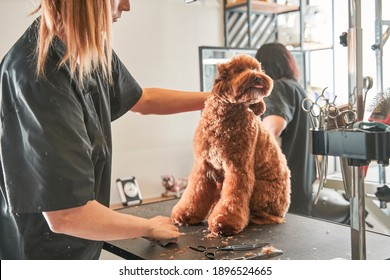 Professional grooming an apricot dog labradoodle in hair salon for dogs. Young female groomer hairdresser removes, cut overgrown hair of pet. Domestic animal concept