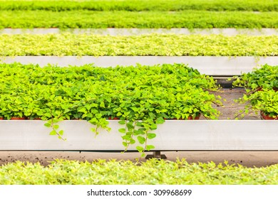 Professional growth of green common ivy plants in a greenhouse