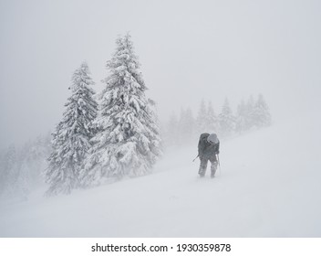 professional photographer with backpack going across coniferous forest during severe snow storm, Ciucas mountains, Romania