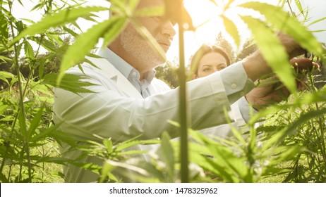Professionelle Forscher, die auf Hanffeldern arbeiten, überprüfen Pflanzen, alternative Medizin und Cannabis-Konzept