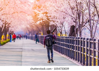 Professional Travel Photography Works.Cherry blossom of Spring in Seoul, South Korea .