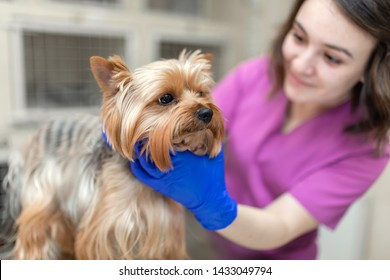 Professional veterinary doctor vaccinates a small dog breed Yorkshire Terrier. A young woman veterinarian Caucasian appearance works in a veterinary clinic. Dog on examination at the vet.