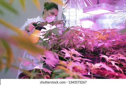 Professional young woman with protection white mask inside a industrial hemp plantation checking  and washing cannabis plants and flowers. Agriculture and nature concept of legal cbd marijuana.