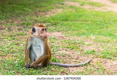 Profil portrait of  toque macaque ( Macaca sinica) sitting on the ground and and looking away