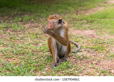 Profil portrait of  toque macaque (Macaca sinica) sitting on the ground with closed eyes