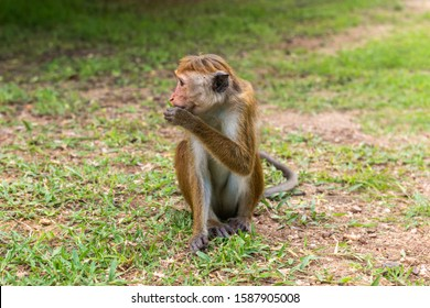 Profil portrait of  toque macaque (Macaca sinica) sitting on the ground and eating grass