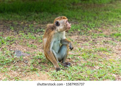 Profil portrait of  toque macaque ( Macaca sinica) sitting on the ground