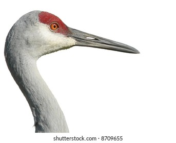Profile of adult sandhill crane isolated on white. Grus canadensis is a species of large crane of North America and extreme northeastern Siberia. This image is of an endangered Florida sandhill crane