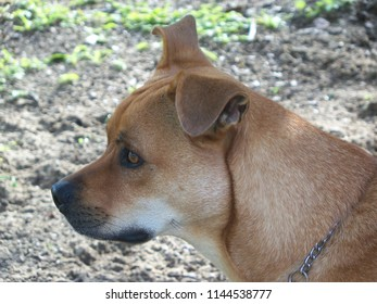 Profile of an alert brown dog