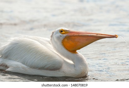 Profile of American white pelican, pelacanus erythrorhynchos, on the lake