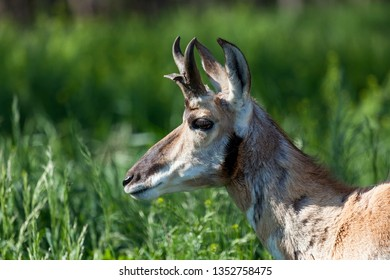 The profile of an antelope with small horns standing in the tall green grass in the sunshine.